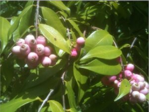 Syzygium leuhmannii leaves and fruit. Syzygiumis a large genus of evergreen flowering plants of the family Myrtaceae