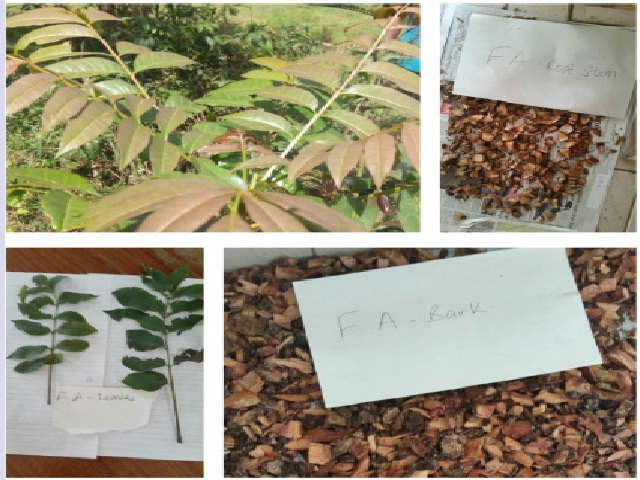 Parts of Fagaropsis angolensis collected from Irangi forest station, Embu County.