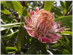 Protea is a genus of flowering plants from South Africa that are commonly referred to as sugarbushes (or suikerbos in Afrikaans). Protea repens is perhaps best known for its medicinal properties, although other species are also used in similar ways. The flower nectar is boiled to produce a syrup (commonly known as bossiestroop). This syrup is used to treat chest disorders, and as a component of cough mixtures.1 It also has been used traditionally to treat diabetes.2 The bark of some Protea spp. is also used to treat diarrhoea and stomach ulcers.