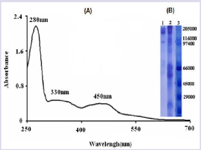 V/Visible absorbance spectrum of Bovine XOR (A), 10% SDS-PAGE of XOR preparation (B). Lan1: purified bovine milk XOR; Lan2: crud bovine milk XOR and Lan3: molecular weight markers: Myosin 205 000; β-galactosidase 116 000; Phosphorylase 97 400; Serum albumin 66 000; Ovalbumin 45 000; Carbonic anhydrase 29 000.