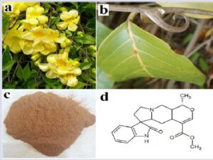 U. tomentosa (a) vine with flowers; (b) thorn; (c) powdered inner bark; (d) the oxindole alkaloid mitraphylline.
