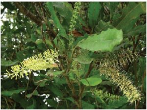 Macadamia integriflora leaves and flowers