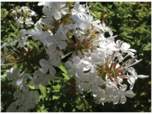 Plumbago auriculata is a Southern African shrub which grows up to 2 metres in height.