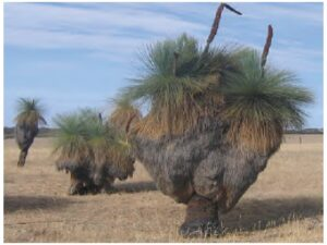 The genus Xanthorrhoea (Australian grasstrees) is a small genus of slow growing and very long living plants which are endemic to Australia.