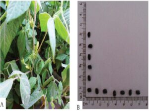 Macrotyloma uniflorum lam. (A) whole plant and (B) seeds.