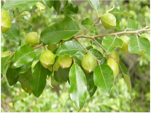 Petalostigma pubescens (commonly known as quinine bush) unripe fruit and leaves. Petalostigma is an Australian Euphorbiaceae genus which consists of 7 species.