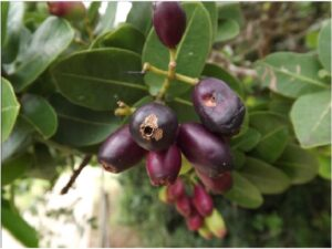Syzygium cordatum leaves and fruit. Syzygiumis a large genus of evergreen flowering plants of the family Myrtaceae which consists of approximately 500 species.