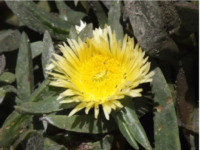 Carpobrotus edulis (commonly known as sour figure) is a succulent South African plant