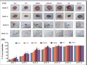 Effect of MEF on wound contraction in excision wound rat model: photographic record (A) and percent wound contraction (B). MEF: M. elengi flowers, NC: Normal/ untreated control, VC: Vehicle control (base), MEL: Low dose of the standardized ethanolic extract of M. elengi flowers (2.5%), MEM: Mid dose of the standardized ethanolic extract of M. elengi flowers (5%), MEH: High dose of the standardized ethanolic extract of M. elengi flowers (20%), JT: Jatyadi Taila (traditional drug), BTD: Betadine (modern drug). Data expressed as mean ± SE, n=6. **p