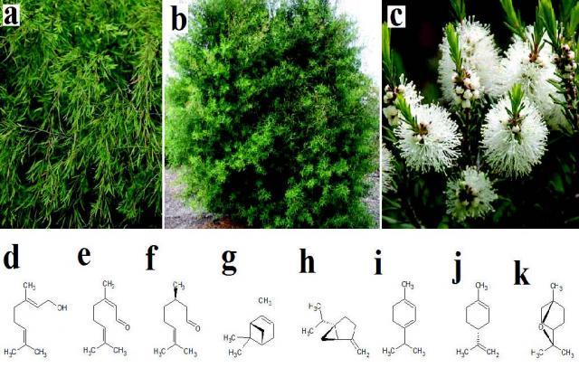 L. longifolium, (b) L. petersonii, (c) M. alternifolia, (d) geraniol, (e) neral, (f ) citronellal, (g) α-pinene, (h) sabinene, (i) α-terpinene, (j) limonene, (k) 1,8-cineole.