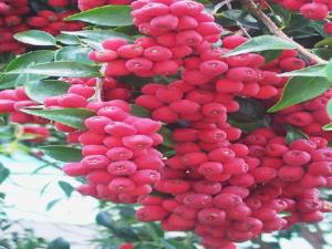Syzygium leuhmannii