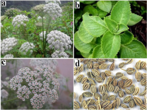 Trachiyspirum ammi (a) whole plant, (b) leaves, (c), flowers and (d) seeds