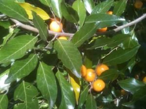 Petalostigma triloculorae (commonly known as quinine bush) unripe fruit and leaves