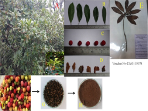M. esculenta: A) habit (inset fruits), B) fresh leaves, C) fresh ripe fruits, D) fresh bark, E) herbaria specimen, F) raw fruits, G) dried fruits, H) dried fruit powder