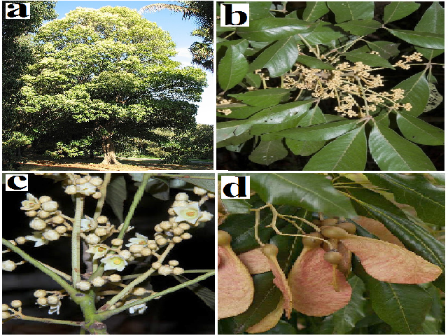 H. actinophyllum (a) whole tree, (b) leaves, (c) flowers and (d) seed pods.